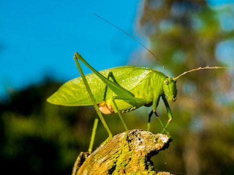 Kostenloses Stock Foto zu insekt, makro, grashüpfer, nahansicht