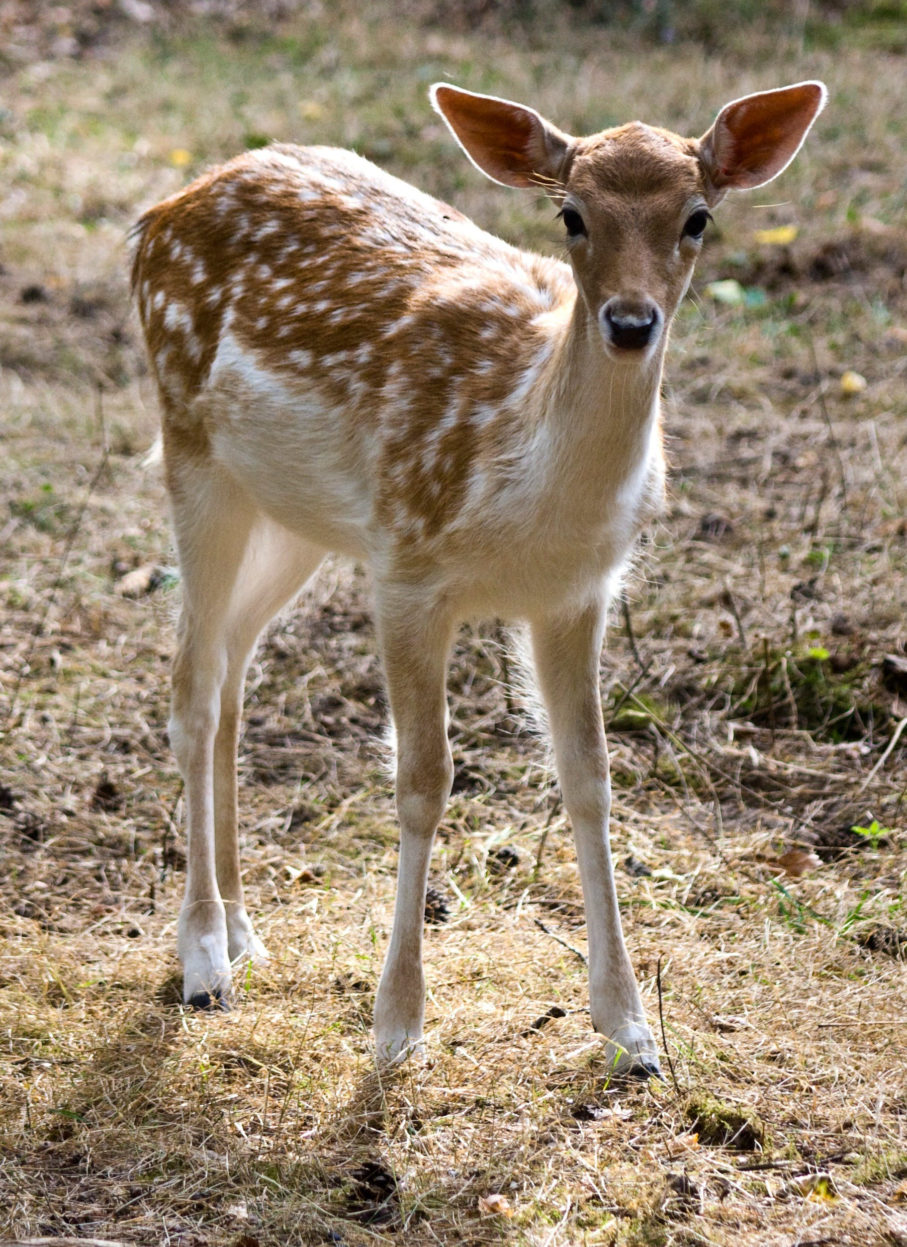 Tan Fawn in Grassy Area
