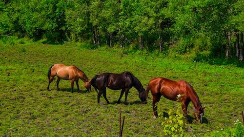 Immagine gratuita di alberi, cavalli, erba