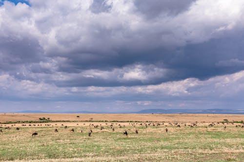 Wild animals feeding in savanna under cloudy sky