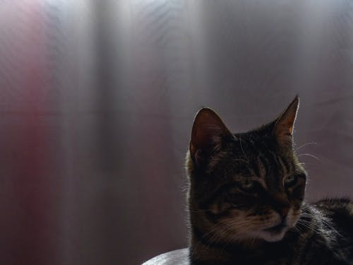 Бесплатное стоковое фото с animales, gatos, mascota, mascotas