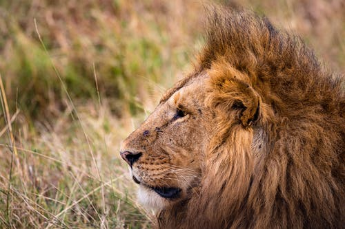 Dangerous lion with fluffy brown mane looking forward on grass in safari on summer day