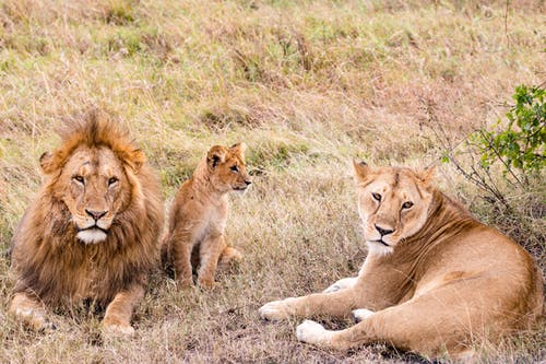 Lion family resting on grass in savannah
