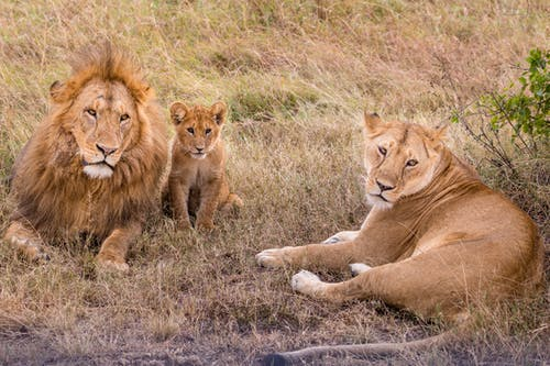 Lioness resting on grass near powerful lion and small predator in savanna on summer day
