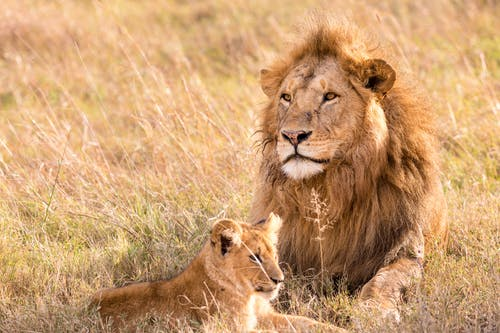 Strong lion with fluffy mane lying on golden meadow near small predator in savanna on sunny day