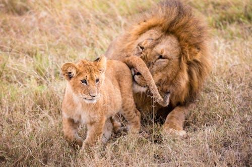 Lion smelling little predator on grass in savanna