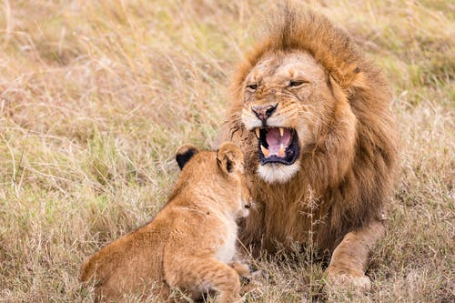 Dangerous lion with open mouth roaring at small predator while resting on grass in safari
