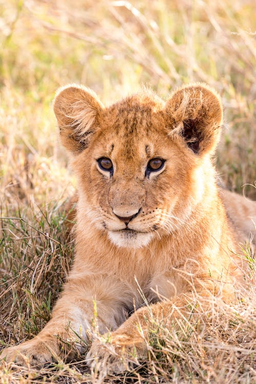 Small lion resting on grass in savannah