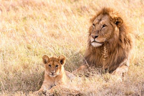 Powerful lion with fluffy mane lying on golden grass near little predator in savannah