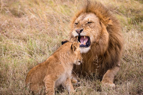Strong lion with open mouth showing fangs near little lionet on grass in safari on summer day