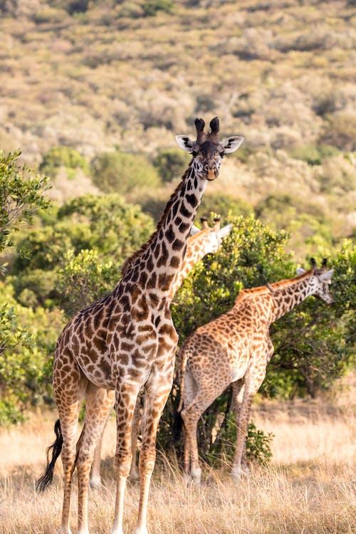 Tower of wild giraffes with long necks grazing in natural habitat in sunny savanna