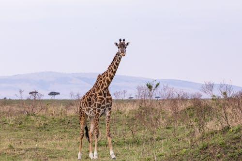 Wild giraffe standing in lush habitat
