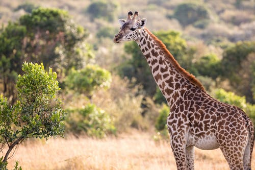 Young giraffe with long neck standing near lush trees in sunny zoological park in wild nature