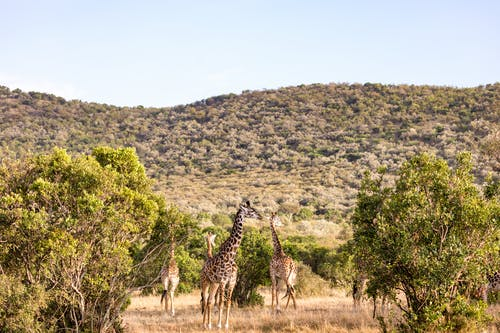 Group of wild giraffes grazing in savanna