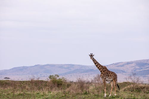 Full body curious young giraffe with spotted skin standing on grassy hilly savanna in wild nature