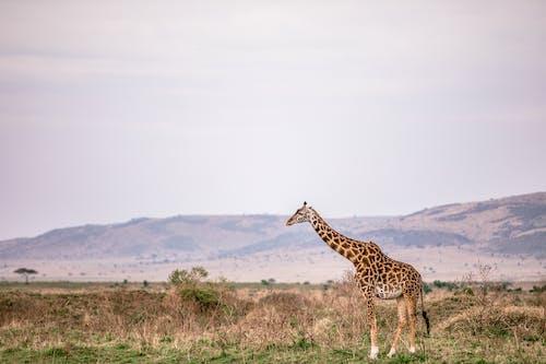 Tall giraffe standing on grassy meadow