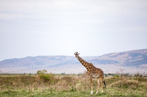 Cute giraffe standing on spacious grassy meadow