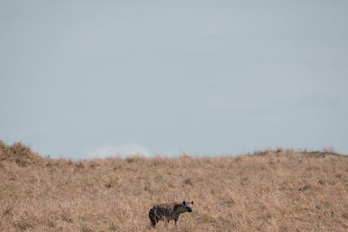 Wild hyena prowling on grassy meadow in savanna