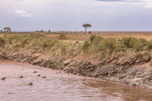 Wildebeests crossing vast river in savanna