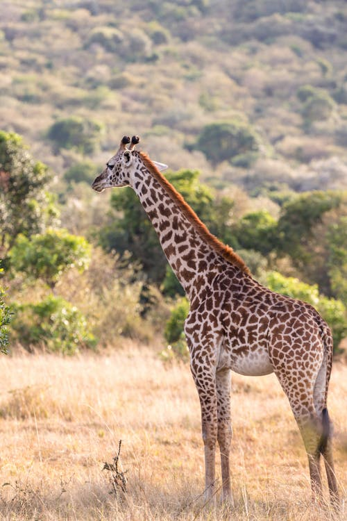 Full length wild tall giraffe standing on sunny grassy lawn in zoological park