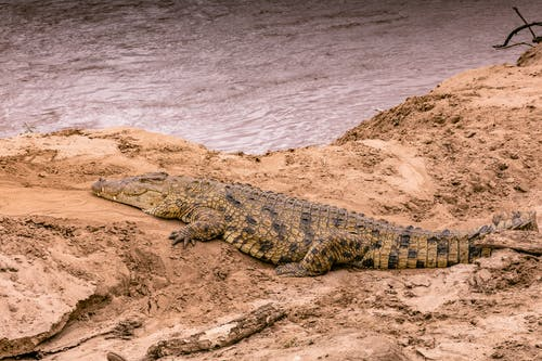 Big wild dangerous crocodile with long tail and dapples on skin lying on sandy shore near rippling river in wild nature