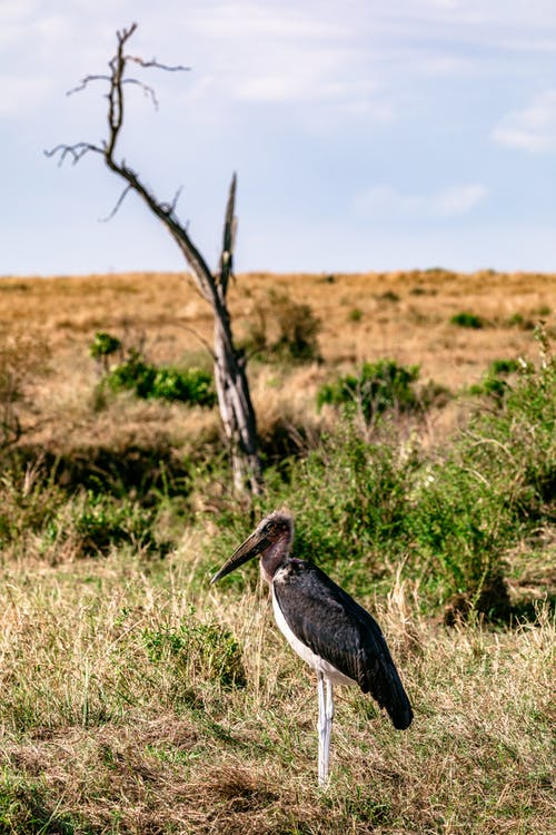 Marabou stork wading bird with black wings standing in grassy savanna with leafless tree against cloudy sky in wild nature