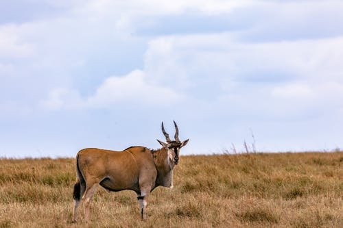 Calm antelope standing on grassy meadow