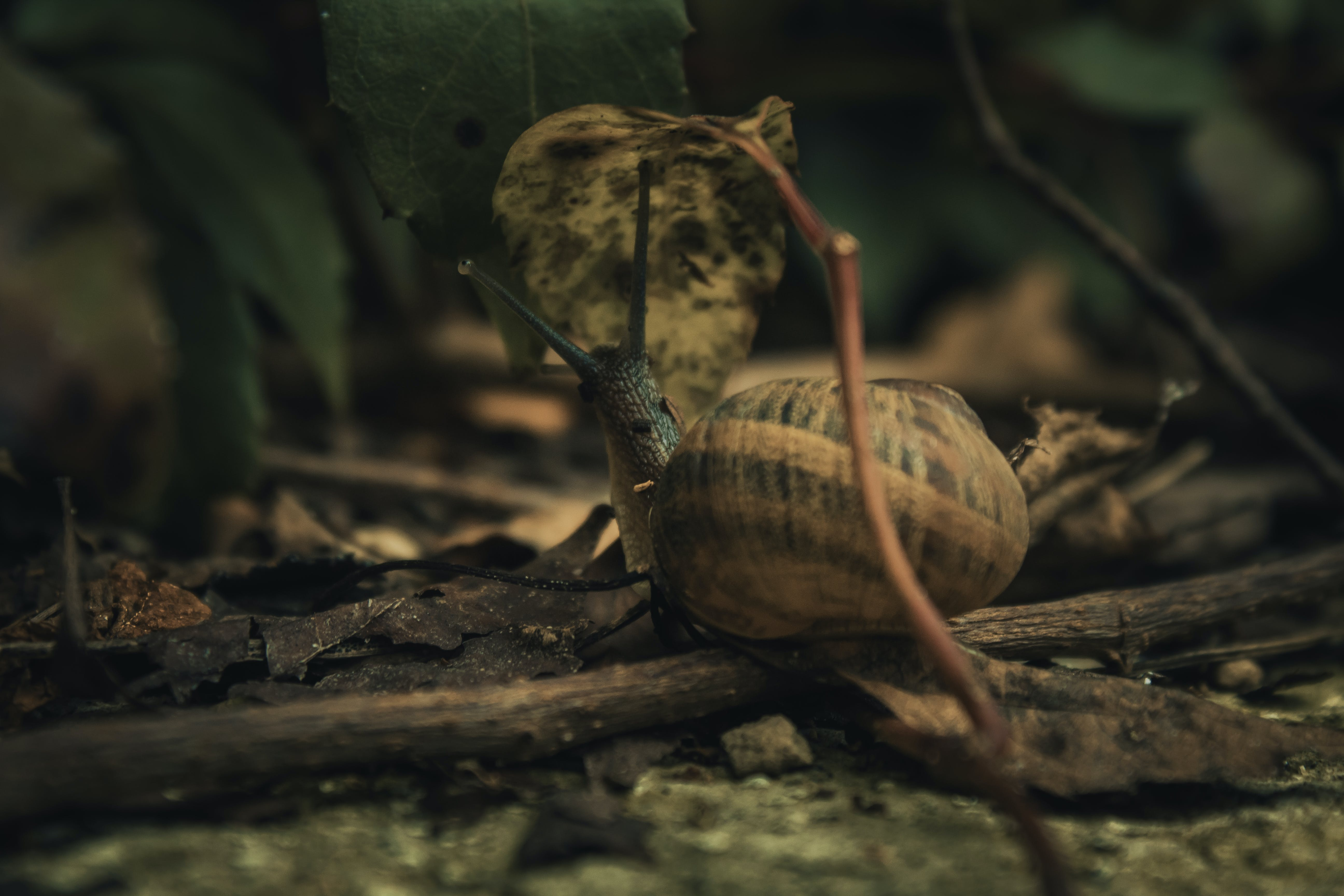Free stock photo of brown, moving, snail, shell
