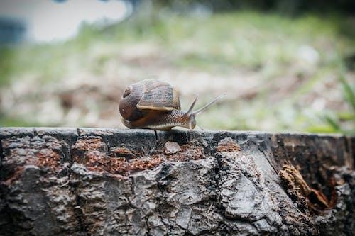 Foto stok gratis bergerak, cangkang, cokelat, gastropoda