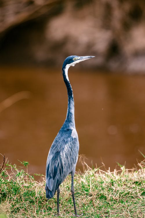 Thin black headed heron wading bird standing on coast with grass near calm river on blurred background in wild nature