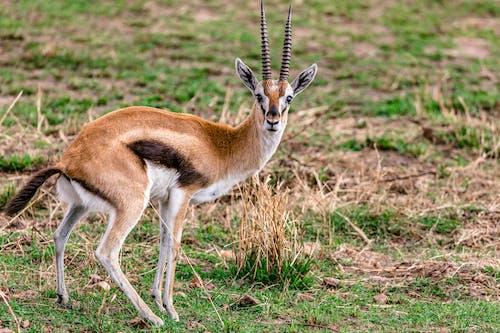 Small Thompson gazelle on grassy meadow