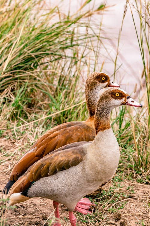 Egyptian geese with brown wings and spot around eyes standing on coast with grass near calm river in wild nature