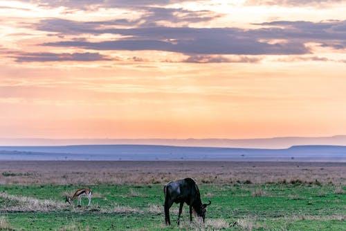 Wildebeest grazing on grassy meadow