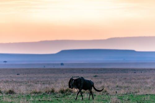 Wild wildebeest walking on grassland in savanna