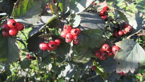 Free stock photo of crataegus, red berries