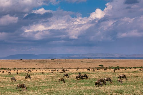 Confusion of wildebeests grazing on spacious savanna