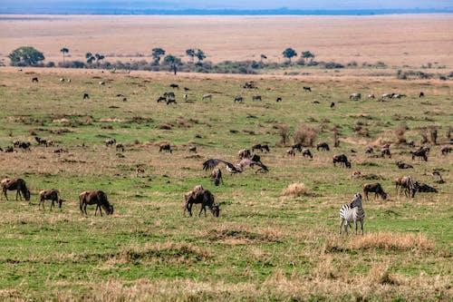 Wildebeests and zebras grazing on vast grassy meadow