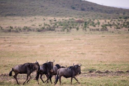 Wildebeests walking on grassy savanna terrain