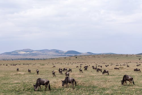 Confusion of wild gnus grazing together on vast grassy hilly savanna on cloudy day