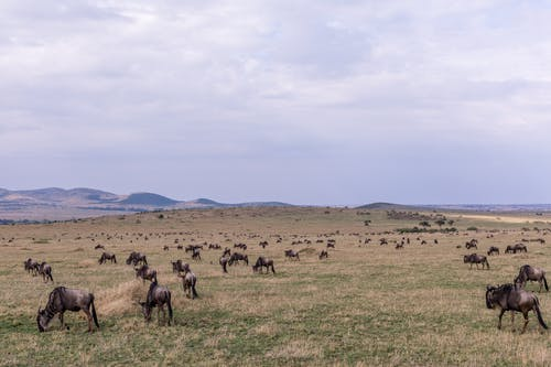 Confusion of wild antelope gnus grazing on spacious grassy lawn in hilly savanna under cloudy sky