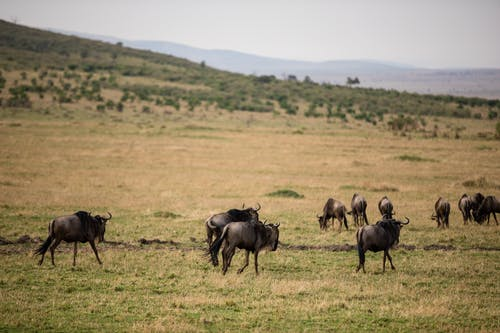 Wildebeests walking on grassy hilly valley