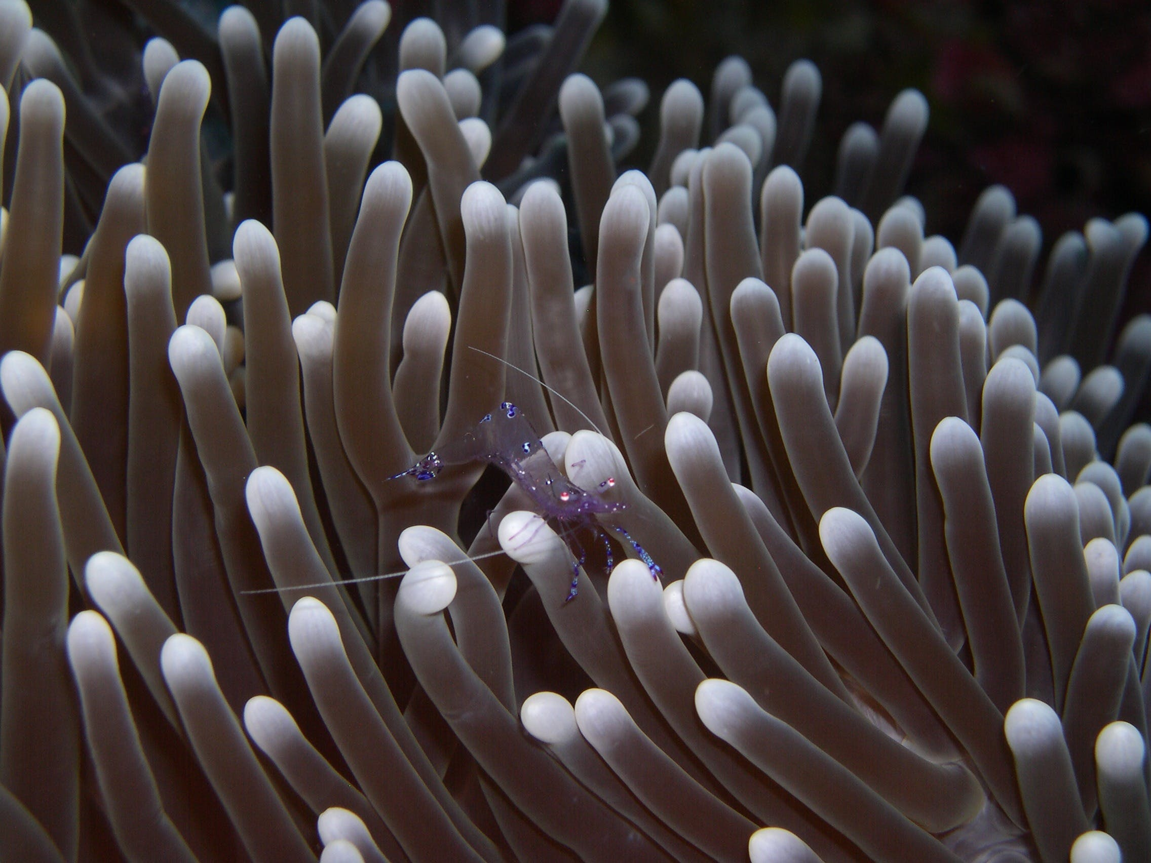 Shrimp on Sea Anemone