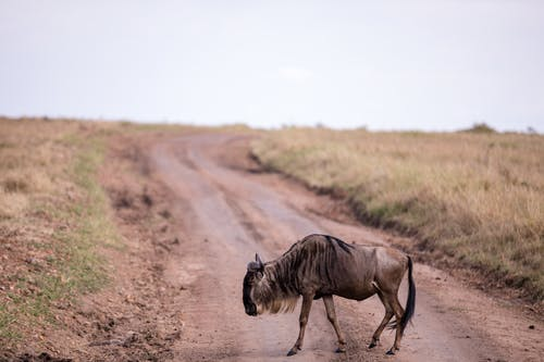 Lonely wildebeest walking in savanna with field with dry grass and roadway under cloudy sky in daytime