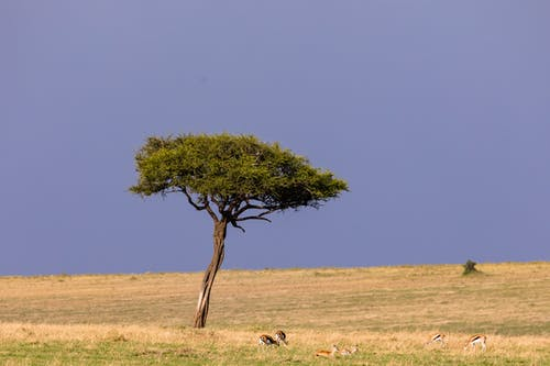 Wild gazelles grazing near lonely tree in field with dry grass placed in savanna in daytime