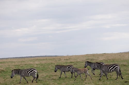 Wild zebras walking in field with small green grass placed in countryside in savanna under cloudy sky in daylight