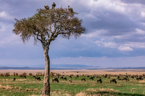 Flock of wild antelopes in savanna with fresh green grass and tree with vultures under cloudy sky