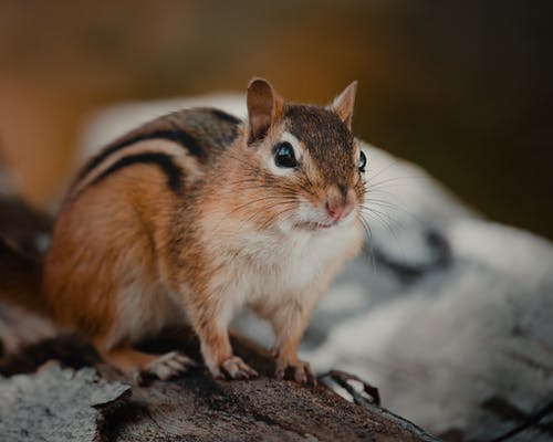 Curious chipmunk sitting on trunk in nature