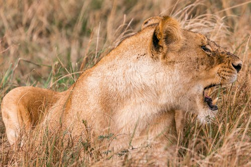 Wild furious lioness roaring while lying in meadow with high dry grass in savanna