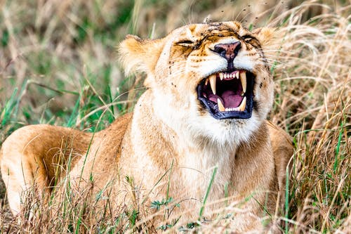 Wild lion with sharp teeth roaring in grass