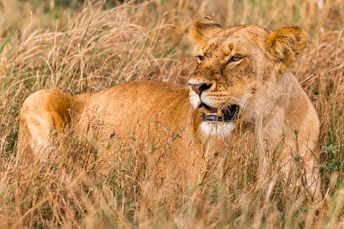 Wild young furious lioness with fluffy muzzle roaring in field with high dry grass in daytime
